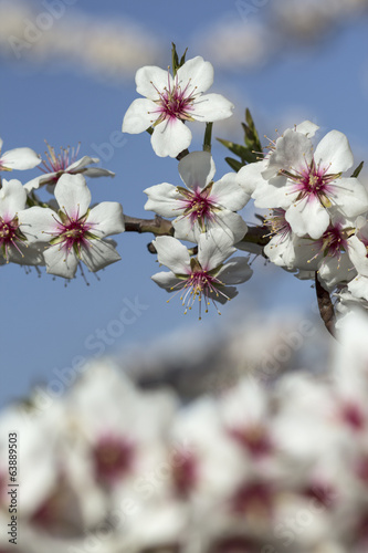 Close up of branches filled with almond blossoms