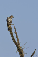 Changeable hawk eagle in Nepal