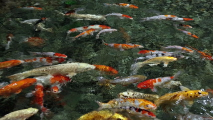 The Koi fish floating on the surface of the pond