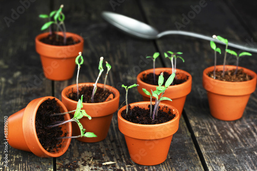 canvas print picture Tomatenpflanzen