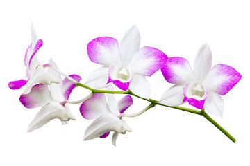 Orchid flower isolated
