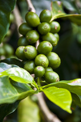 Nature's Garden - Coffee - Green Coffee Beans On The Branch