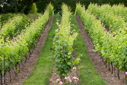 Keuken foto achterwand Wijngaard Vineyard in the famous wine making region - Loire Valley