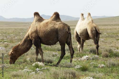 group of camels
