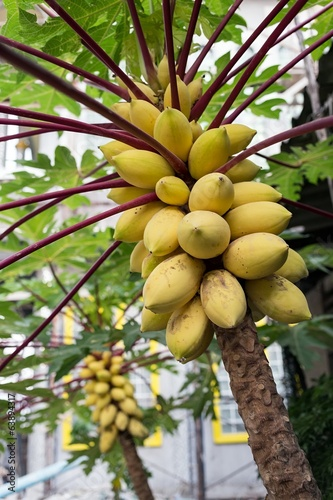 Ripe papayas on tree