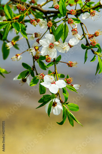 Preview twigs with flower young fruit tree