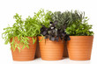 Potted kitchen herbs