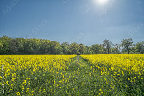 Rape field at spring with blue sky and trees