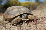 Desert Tortoise head On