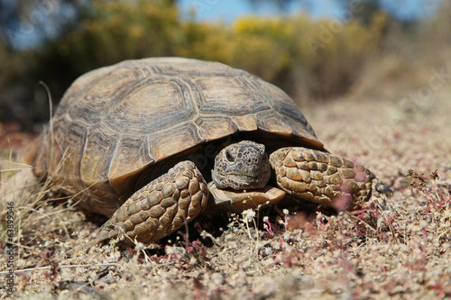Foto op Aluminium Schildpad Desert Tortoise head On