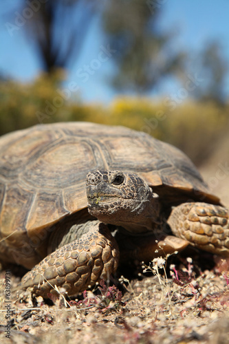 Tuinposter Schildpad Desert Tortoise