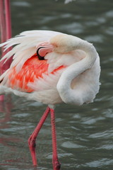 fenicottero rosa uccello acquatico