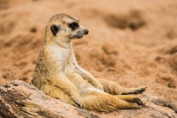 meerkat is sitting.