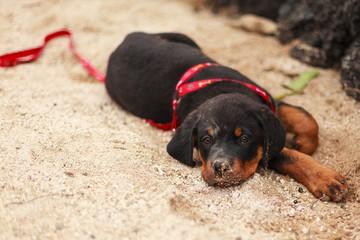 rottweiller puppy