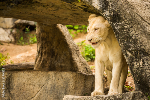 white lion on cliff.
