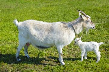 goat and baby goat