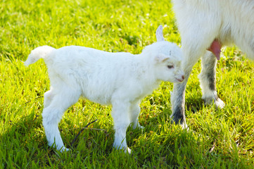 baby goat and goats udder