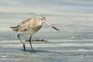 Bar-tailed Godwit striding along at the beach