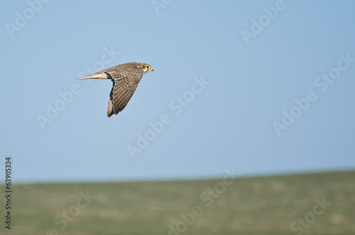 Peregrine Falcon Flying Over a Field