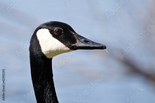 Close Up Profile of Canada Goose