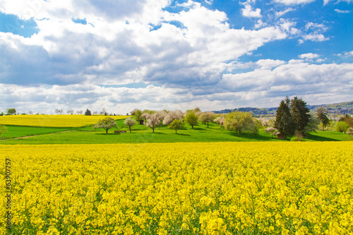 Rape field in spring time