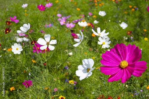 canvas print picture Cosmos Flower