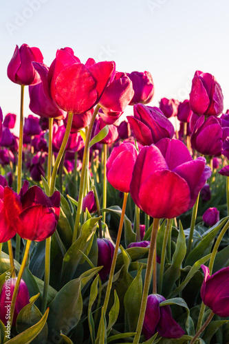 Tulips at sunrise