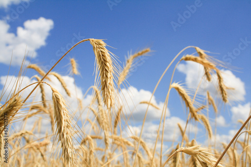 Yellow grain growing in a farm field over blue sky