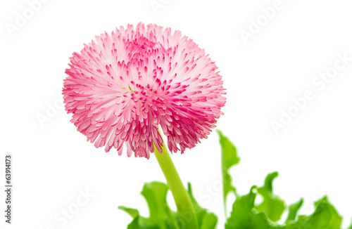 pink daisy isolated