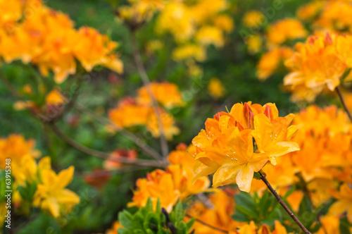 Papiers peints Azalea Blooming Japanese azalea in springtime