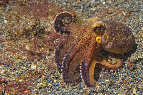 coconut octopus underwater portrait - 63916912