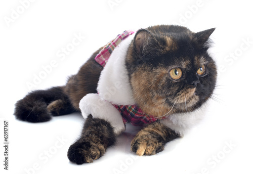 dressed exotic shorthair cat