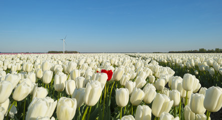 Bulb fields in the countryside in spring