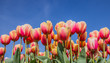 Pink and yellow tulips against a blue sky