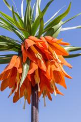 Orange crown imperial against blue sky