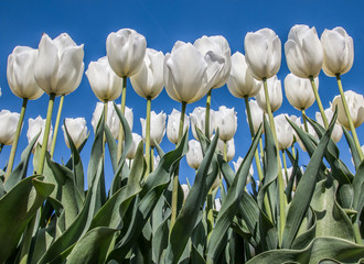 Group of white tulips against a blue sky