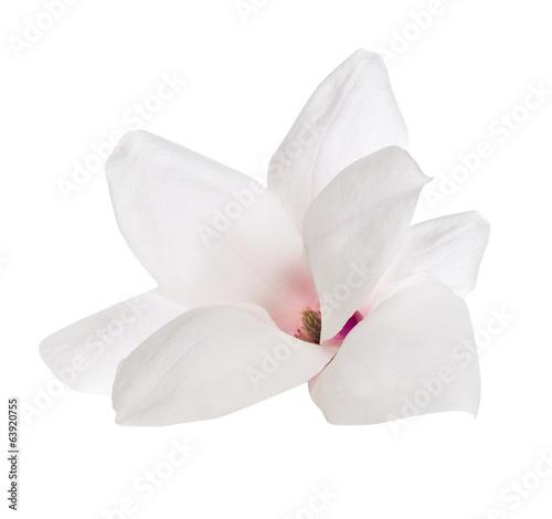 Papiers peints Magnolia Flower of Magnolia, isolated on white background