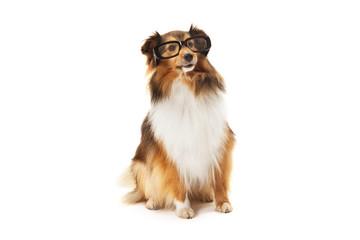 Shetland sheepdog wearing black eyeglasses