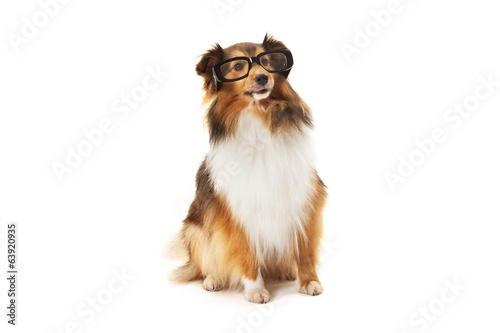 Shetland sheepdog wearing black eyeglasses
