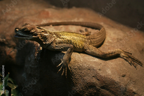 Lizard on a rock