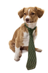Cute dog wearing necktie