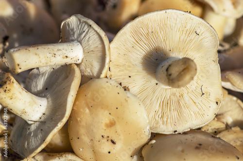 St. George's mushroom