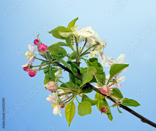 Apple blossom over blue sky - springtime in nature