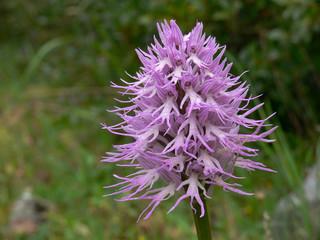 orchidea Orchis italica