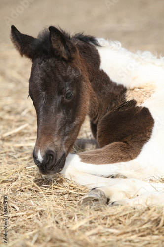 Portrait of nice lying foal
