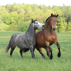 Two amazing horses  playing in fresh grass