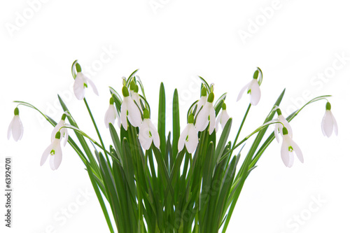 Snowdrops isolated on white.