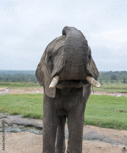 big elephant in kruger park