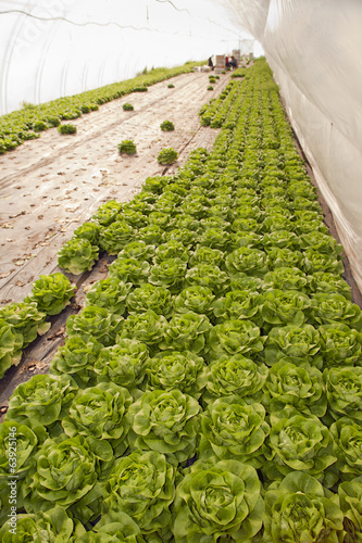 Greenhouse for vegetables - lettuce