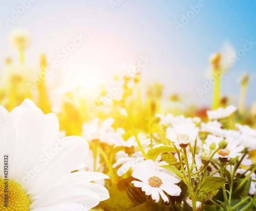 Spring field with flowers, daisy, herbs. Sun
